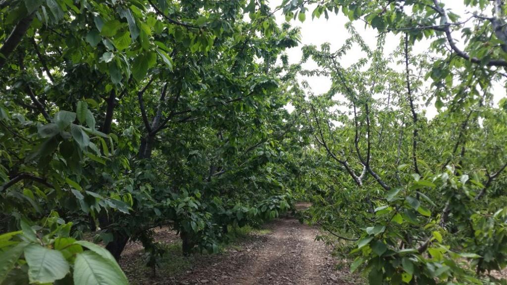 Sol sıradaki Kiraz ağaçlarında EKOSOLFARM %100 ORGANİK SIVI SOLUCAN GÜBRESİ® Uygulanmış, Sağ tarfataki sırada ise Konvansiyonel Gübre uygulaması yapılmıştır.
