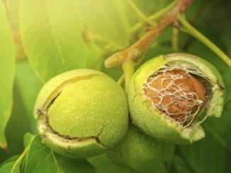 ceviz ağacı solucan gubresi uygulama