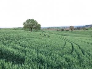 buğday gübreleme