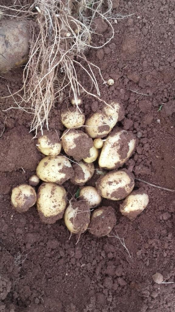patates solucan gübresi