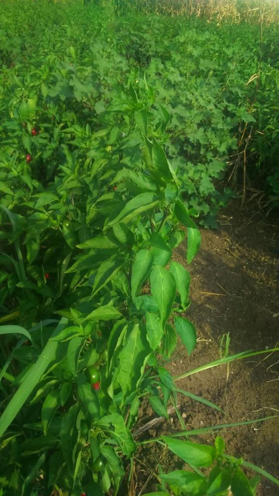 Jalapeno ve Cherry Biberde EkosolFarm Sıvı Solucan Gübresi -11