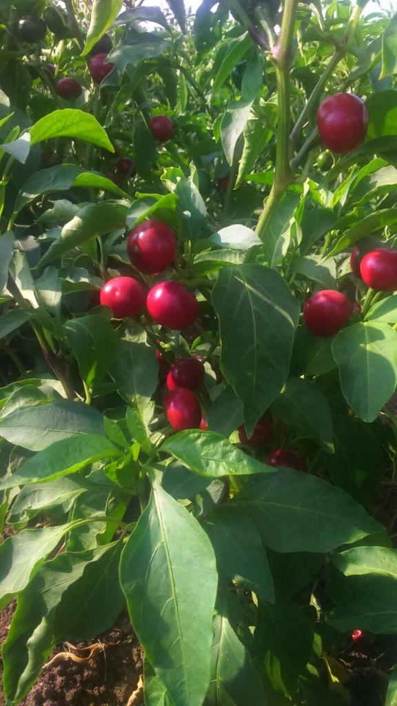 Jalapeno ve Cherry Biberde EkosolFarm Sıvı Solucan Gübresi -5
