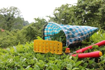 çayda organik gübre hasat