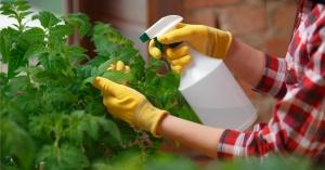 domates ekimi yapraktan gübreleme